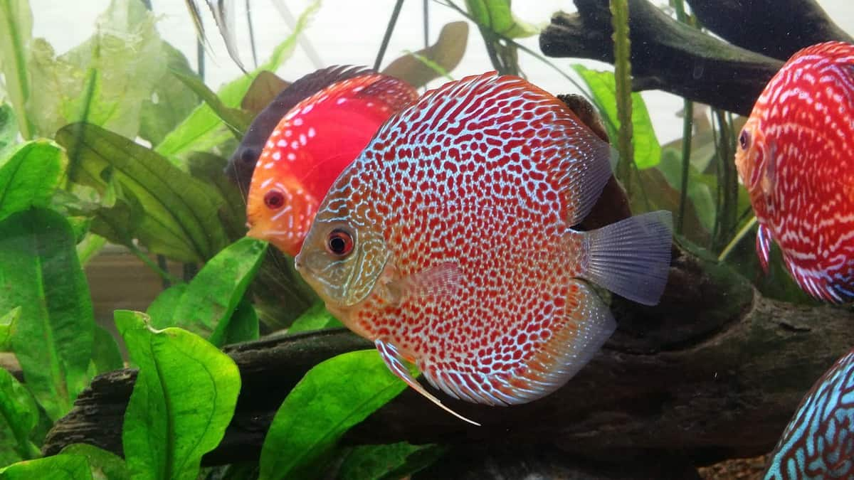 Beautiful Discus cichlid scene
