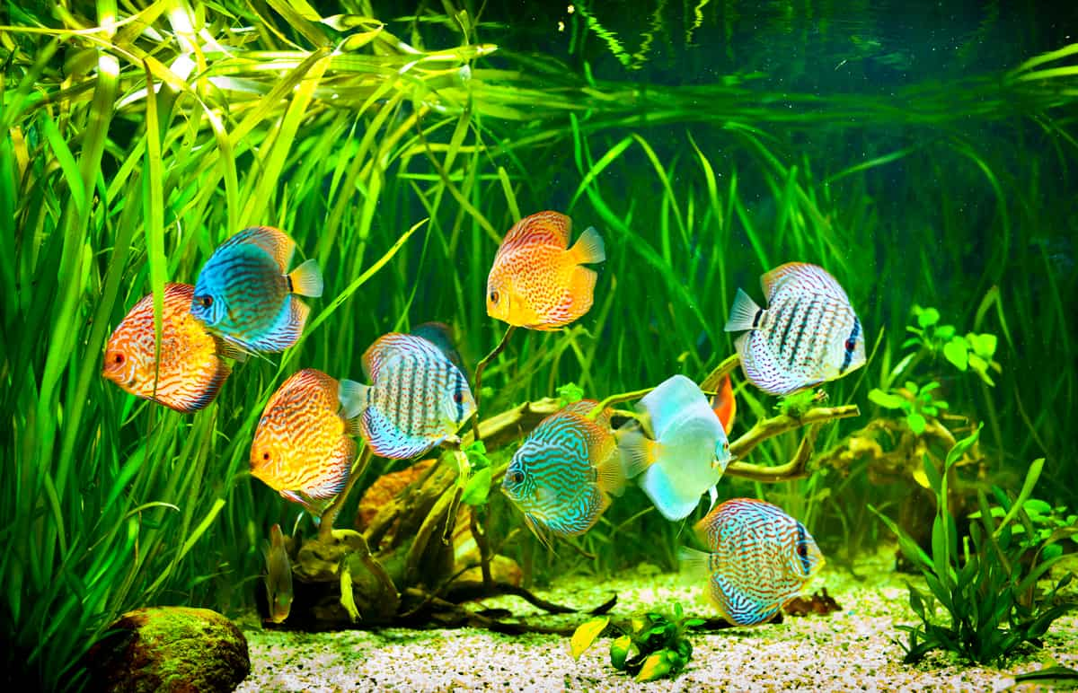 Filtered discus tank