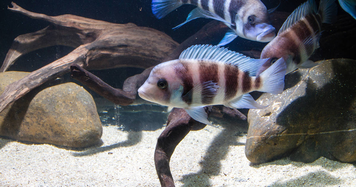 African cichlid in the substrate