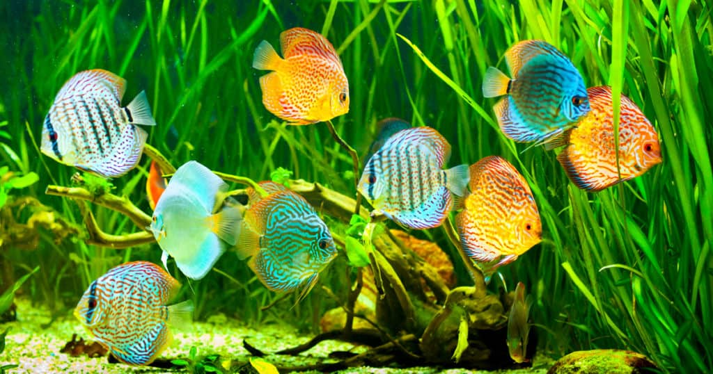 Cichlids swimming in well lit tank