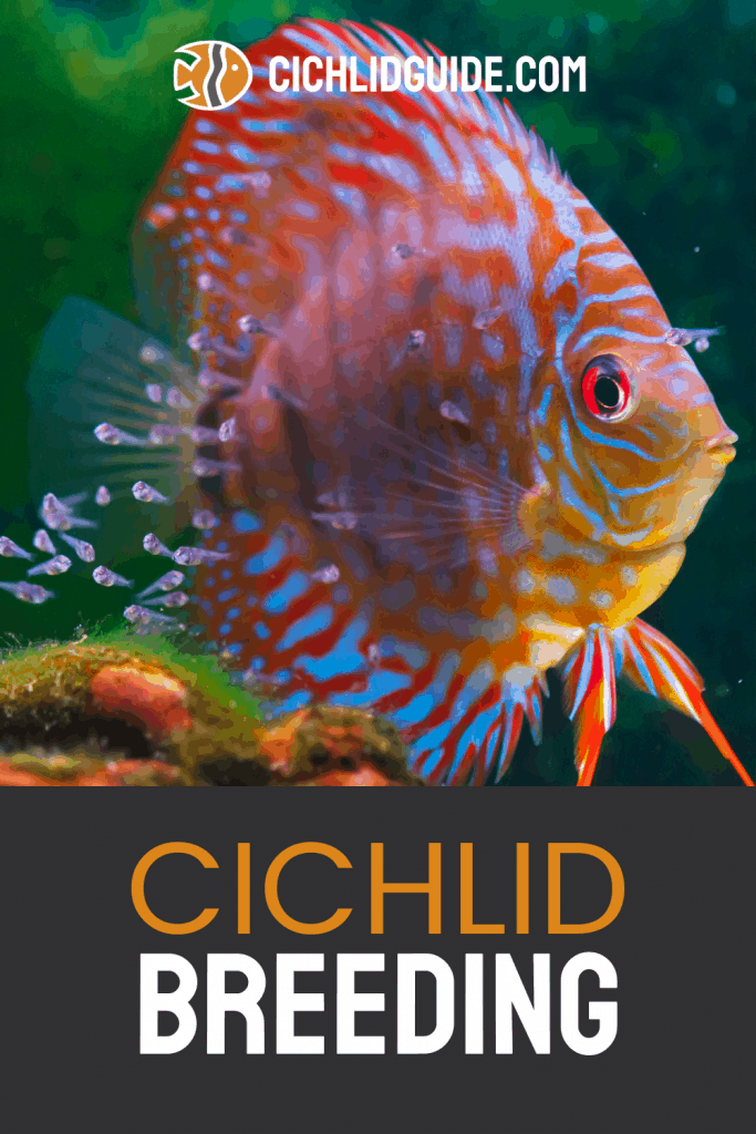 Cichlid Breeding - CichlidGuide.com - I didn't know that these cichlids were the best for breeding... how cool!?
